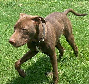 Milo Labrador Retriever Dog