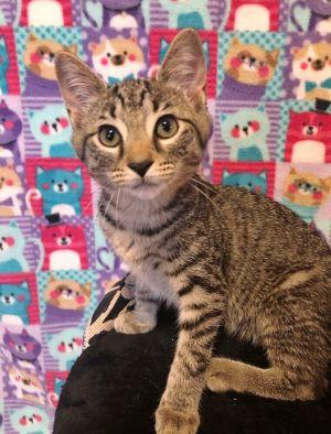 Madelyne Usher Domestic Short Hair Cat