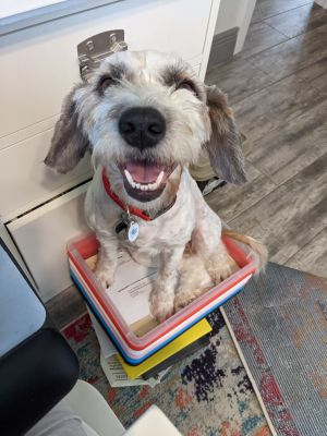 CURRENTLY NOT ACCEPTING ANY MORE APPLICATIONS Meet Olive Oyl This adorable Schnauzer  Poodle mix s