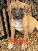 This is Foxy She is a lab mix She is as sweet as can be and has a sister also