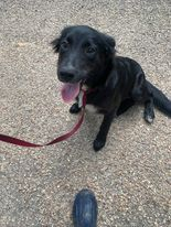 This is Glory She is 30 lbs She is a border collie mix She is very sweet and playful and