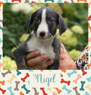 Nigel and his littermates will be available soon If interested in adopting submit your application