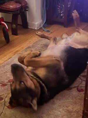 Cyrus (TX) Shepherd Dog
