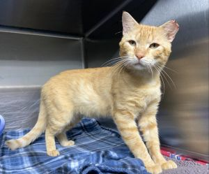 Groot 45123 is a 2-3 year old male He is as gentle and loving as they come Gr
