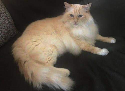 Bo, an adoptable Domestic Long Hair & Ragdoll Mix in Springfield, OR_image-2