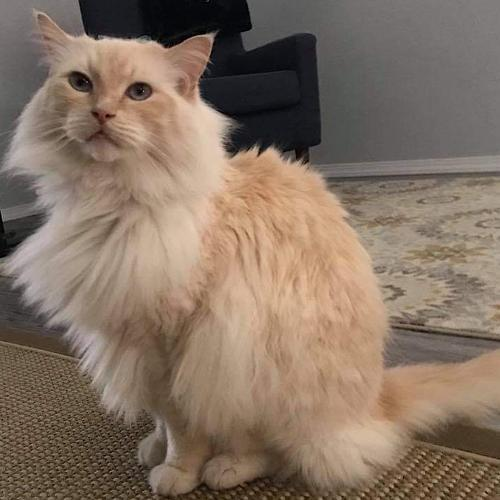 Bo, an adoptable Domestic Long Hair & Ragdoll Mix in Springfield, OR_image-3