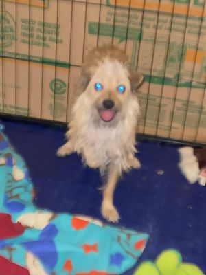 Salty is a one and a half year old Shih Tzu mix who came into rescue with his sister and