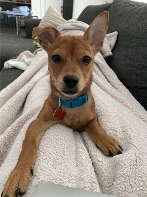 Ollie Chihuahua Dog