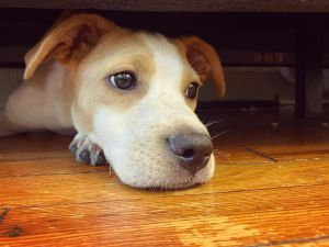 Moana NC JRT Pup