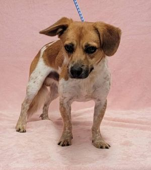 Meet GUY a 2 year old 18 pound wonderful Beagle Terrier mix He is friendly and gets along with