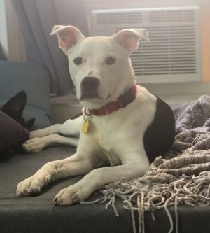Meet LUCA a 1 year old 29 pound wonderful Pitbull mix He is friendly and get