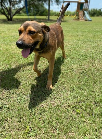 Rusty - fostered in Austin TX 2