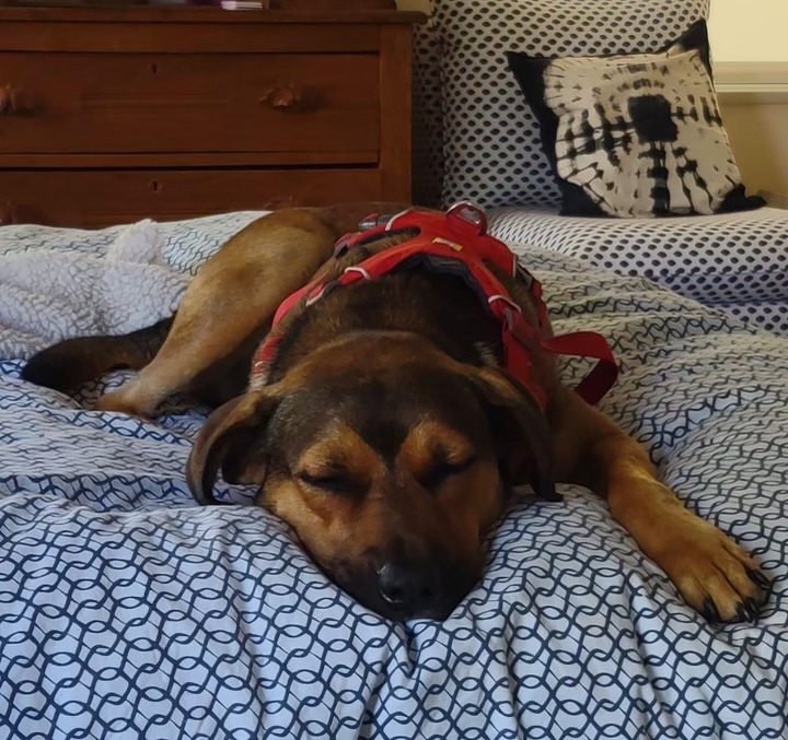 Rusty - fostered in Austin TX 1