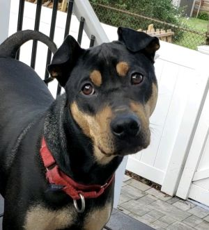 Meet Sumo a 1 year old 40 pound a bouncy goofy Manchester terrierShar-Pei mix He would love to