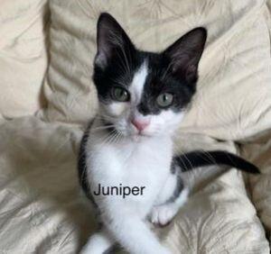 Juniper American Shorthair Cat