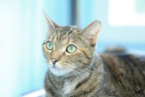 Gracie Domestic Short Hair Cat