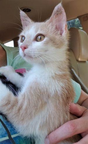 Sasha (NC) Domestic Short Hair Cat