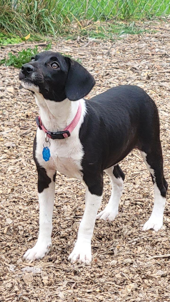 Nala Beagle (with Nadia-Mom) 4