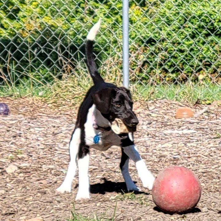 Nala Beagle (with Nadia-Mom) 5