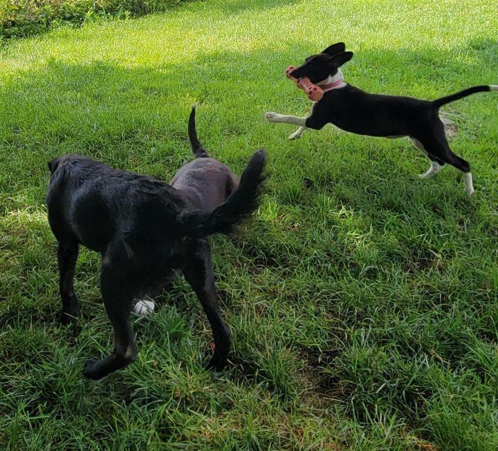 Nala Beagle (with Nadia-Mom) 6