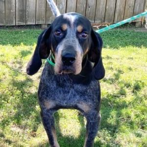 Hoss Bluetick Coonhound Dog