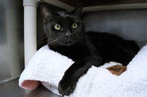 Mila Domestic Short Hair Cat