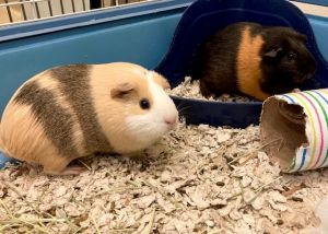 Bubbles and Butterscotch are two female guinea pigs that were abandoned in a Greenwich park Who cou