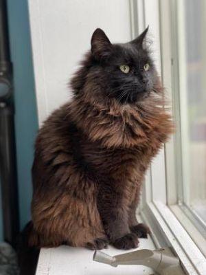 Tabitha Domestic Long Hair Cat