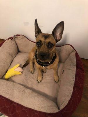 Daisy Mae Chihuahua Dog