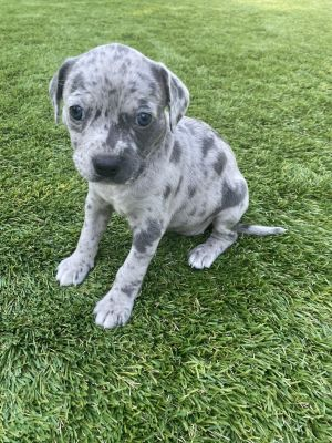 Misty - Hera Pup Pit Bull Terrier Dog