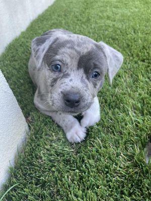 Tammy - Hera Pup Pit Bull Terrier Dog