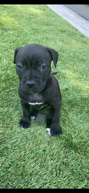 Shilo - Hera Pup Pit Bull Terrier Dog