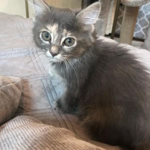 Fiona (SC) Domestic Medium Hair Cat