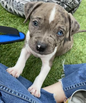 Rufus - Hera Pup Pit Bull Terrier Dog