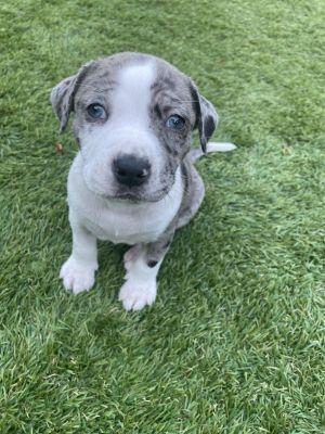 Ziggy - Hera Pup Pit Bull Terrier Dog