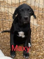 This is Maxy and she is a lab mix She has a sister looking for a home as well She