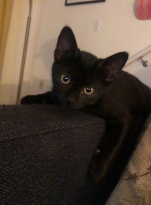 Peanut Butter Domestic Short Hair Cat