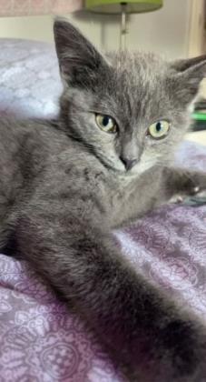 Mac Domestic Short Hair Cat