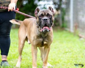 Here is Tug This big goofy pup is around 1 year old and will need a strong handler Tug needs