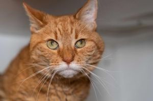 Fred is a senior guy who lived with other senior cats He gets fluids daily so will need someone wh