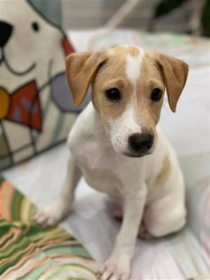 You can fill out an adoption application online on our official website Abbott GA is a male Feist