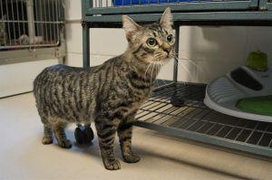 Iago Tabby Cat