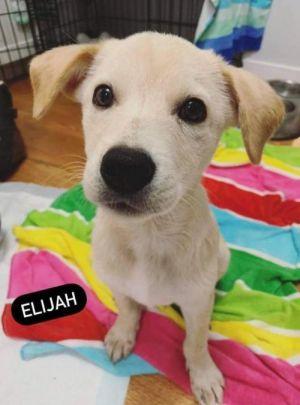 Elijah (AL) Labrador Retriever Dog