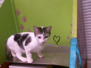 A1765784 Domestic Short Hair Cat