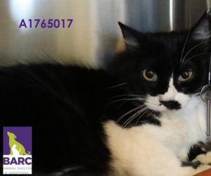 A1765017 Domestic Short Hair Cat