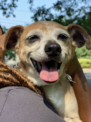 Nali is ready for a forever home She is a spayed 13yo 14lb chi mix who is super chill and