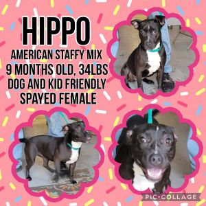 Meet Hippo a 9 month old 34lb Amstaff mix Hippo is great with all people and dogs She will come