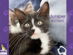 Im Juniper and Im so full of love that my foster mom says Id be a great therapy kitty Id