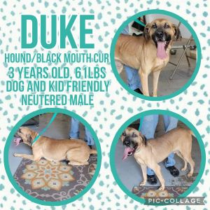MeetDuke a 3 year old 61lb Hound mix Duke is great with all people and dogs He is very playful