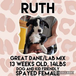 Meet Ruth a 13 week old 14lb female Great Dane mix Ruth is fully vaccinated